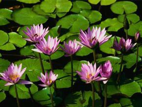 Water lilies_1_0