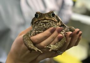 cane_toad_1